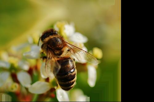 méhsejt